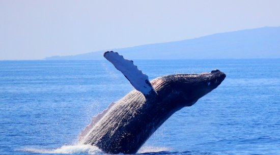 Pacific Whale Foundation: Maui Whale Watching Tour
