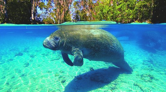 Swim with Manatees in Crystal River, FL