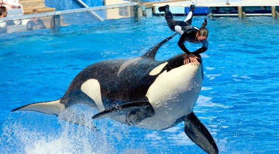 Killer Whale Show at SeaWorld Orlando