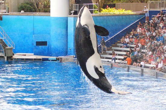 One Ocean Killer Whale Tricks at SeaWorld Orlando