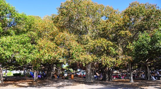 Lahaina Banyan Tree in front of the Lahaina Courthouse