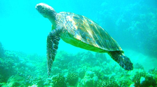 Makena Landing: Maui Sea Turtles