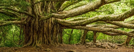 Pipiwai Trail Banyan Tree, Maui Hikes